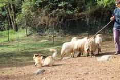 Zaza con le pecore